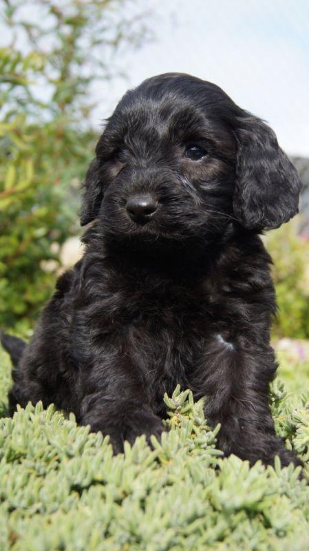 Black Spoodle Dogs Google Search Spoodle Puppies Dogs