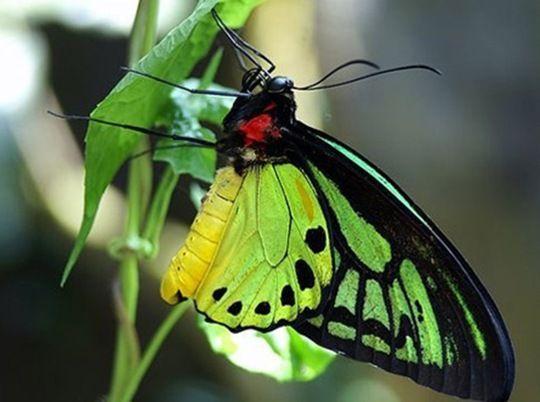Queen Alexandra's Birdwing Butterfly   Rare Butterflies. 13 Most Beautiful and Rare Butterflies   Scienceray