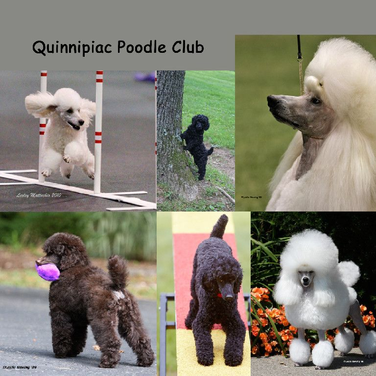 Ct Poodle Club Home Page Poodle Girls Best Friend Animals