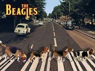 "Funny Beagle  refrigerator magnet 3 1//2x 3 1//2  /"""