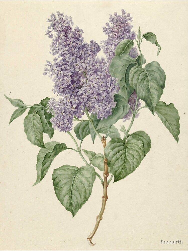 Lilac Botanical Print Poster By Fineearth Redbubble In 2020 Botanical Illustration Vintage Botanical Drawings Botanical Prints