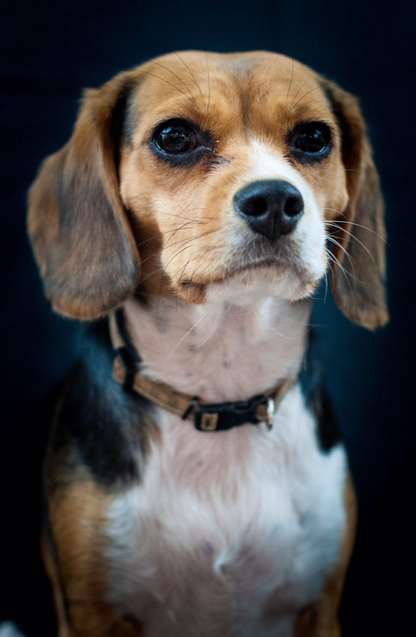 1 Year Old Beaglier Beagle And Cavalier King Charles Spaniel Mix