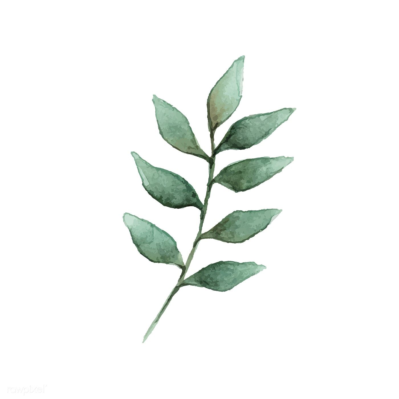 European Ash Leaf Painted In Watercolor Vector Free Image By