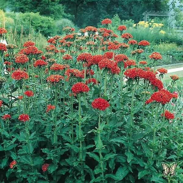 Maltese Cross plant covered in scarlet flowers. Perennial
