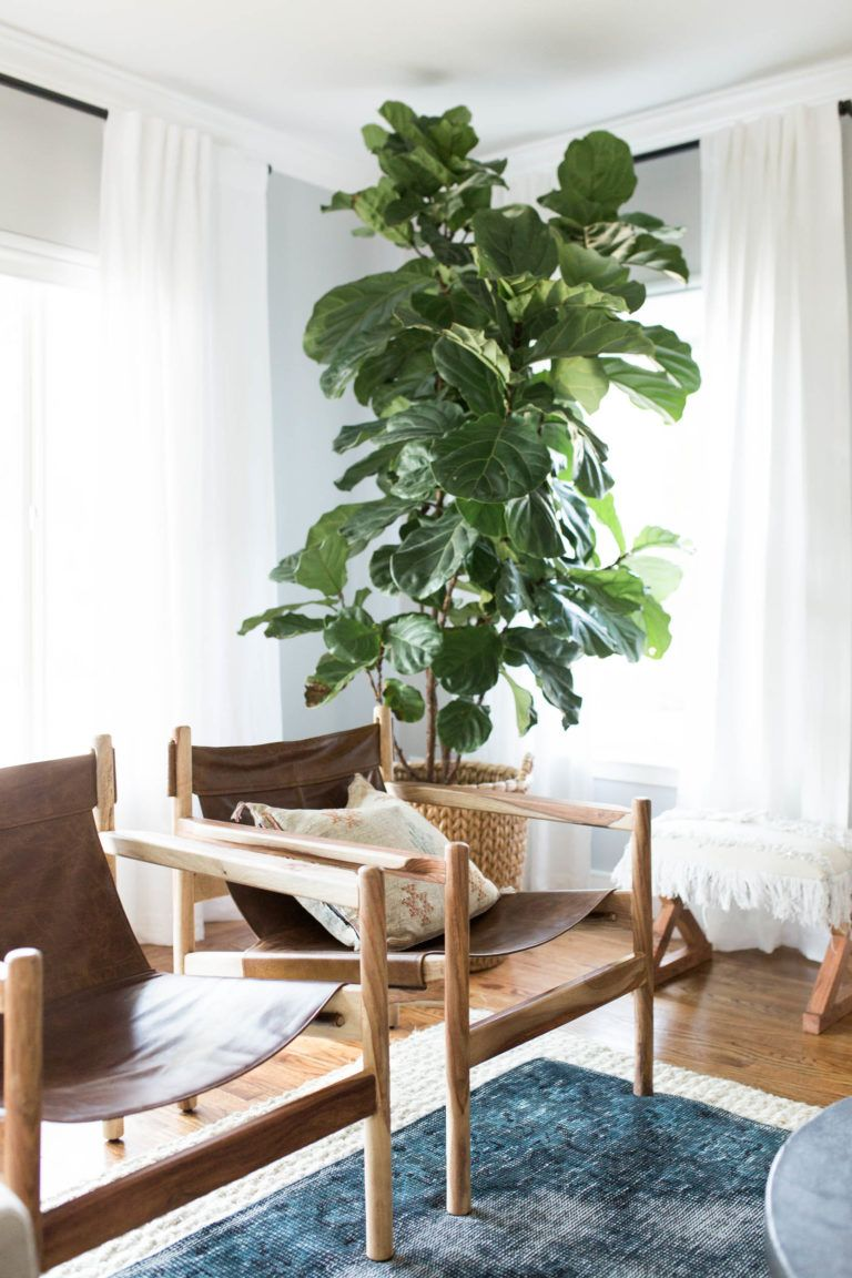 Fig Leaf Fern In Modern Boho Styled Living Room With Leather