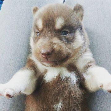 Siberian Husky Puppy For Sale In Virginia Beach Va Adn 34579 On