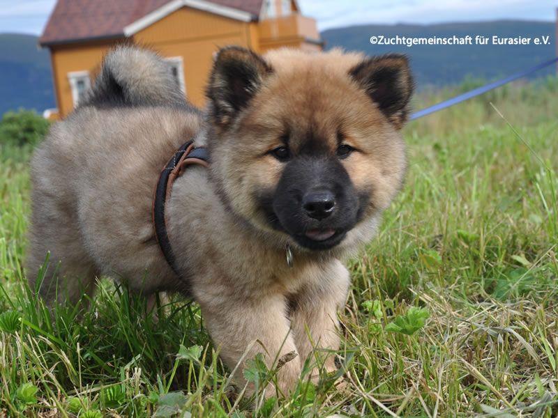 Der Eurasier Eurasier Hund Eurasier Eurasier Welpen