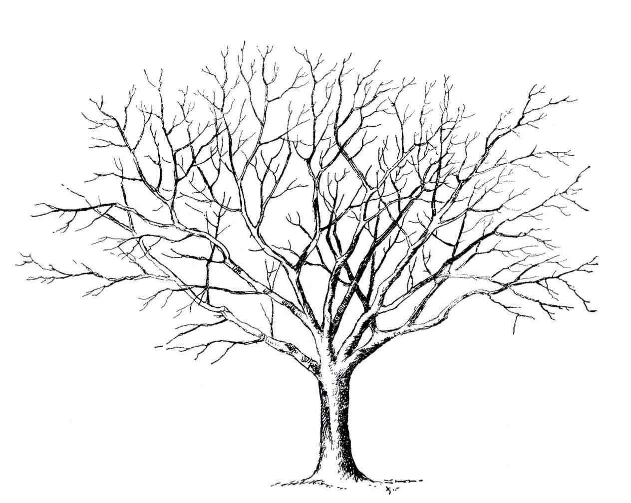 Maple Tree Line Drawing