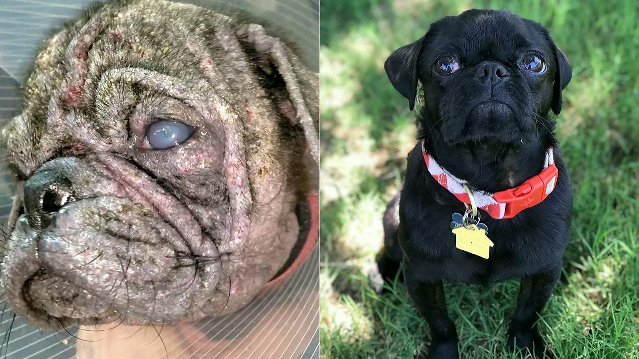 FOX NEWS Abandoned pug unrecognizable after rescue group