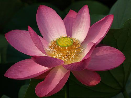 Buddhist Symbols Lotus Flower Google Search Buddhism Flores