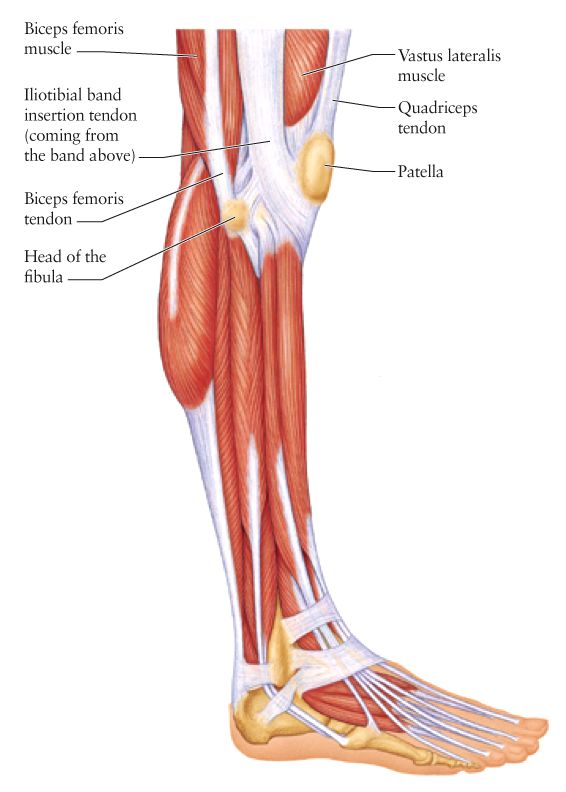 human anatomy for the artist: the lateral knee: a change of, Muscles