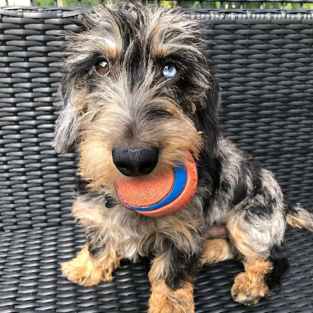 Wirehaired Dachshunds Wirehaired Dogs Wirehaired Sausage Dog