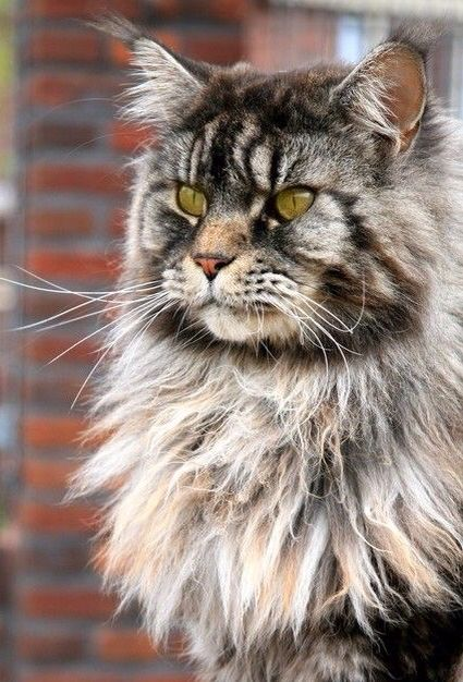 Pin By Gloria Helena Martinez Restrepo On Animales Felinos Norwegian Forest Cat Forest Cat Cats