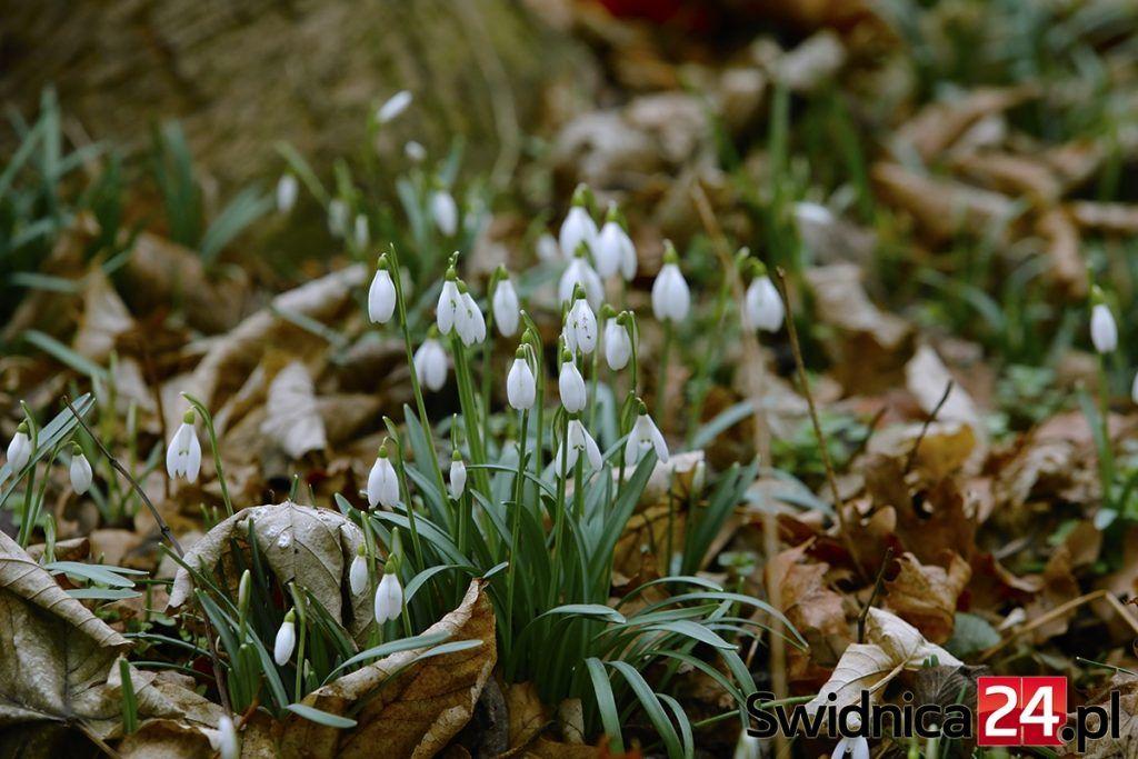 Kwietny Dywan Pod Swidnica Przyroda Wita Wiosne Foto Swidnica24 Pl Wydarzenia Informacje Rozrywka Kultura Polityka Wywiady Wypadki Plants
