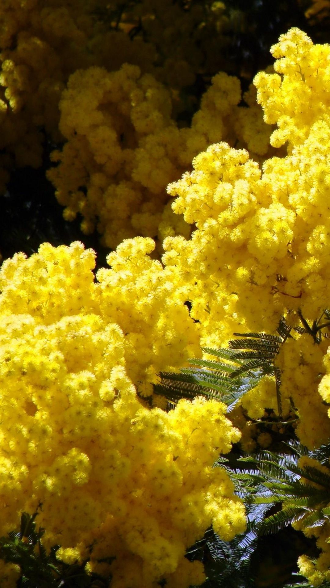 Mimosa Flowering Fluffy Yellow Spring Branches Plants