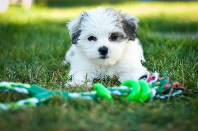 Pin By Steben Alegiojo On Adorable Animals Pics Shitzu Puppies