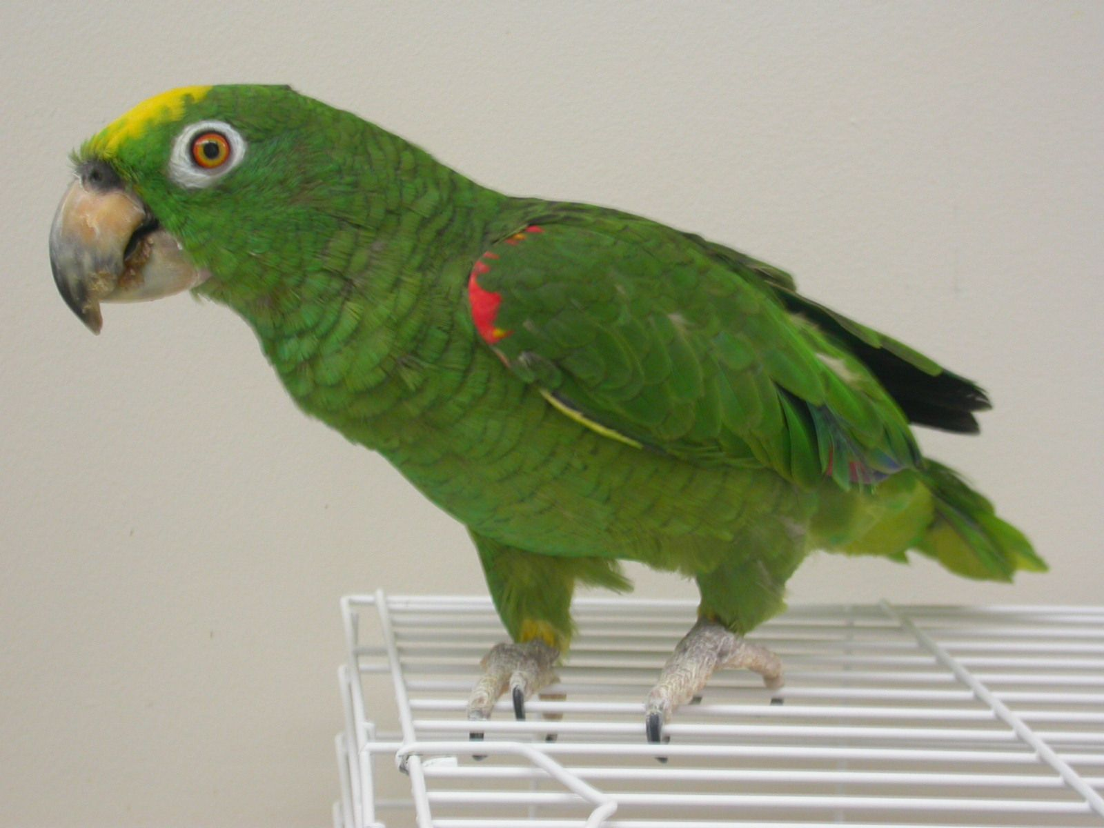 Pin on Birds Central & South American Parrots