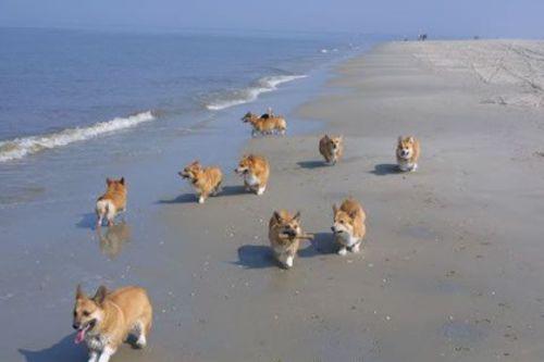 corgi beach