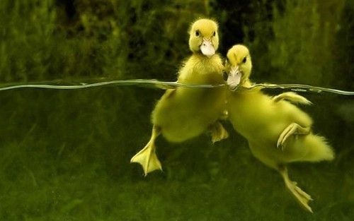 Sweet Baby Ducks Out for a Swim