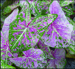 Spaulding Bulb Farm 2015 Fancy Leaf Caladium Varieties Available
