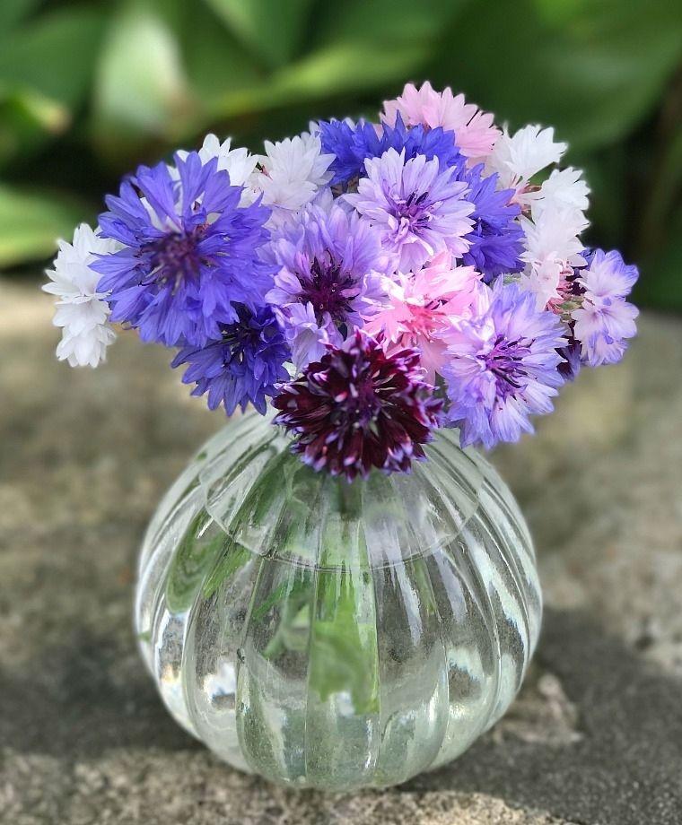 Bachelor S Buttons Edible Flowers Flowers Edible Flowers Flowers Garden