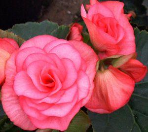 Solenia Dusty Rose Begonia Plant Begonia Plants Flowers