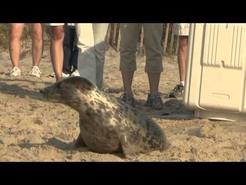 gray seal rescued in March by Mystic Aquarium released Aug. 24