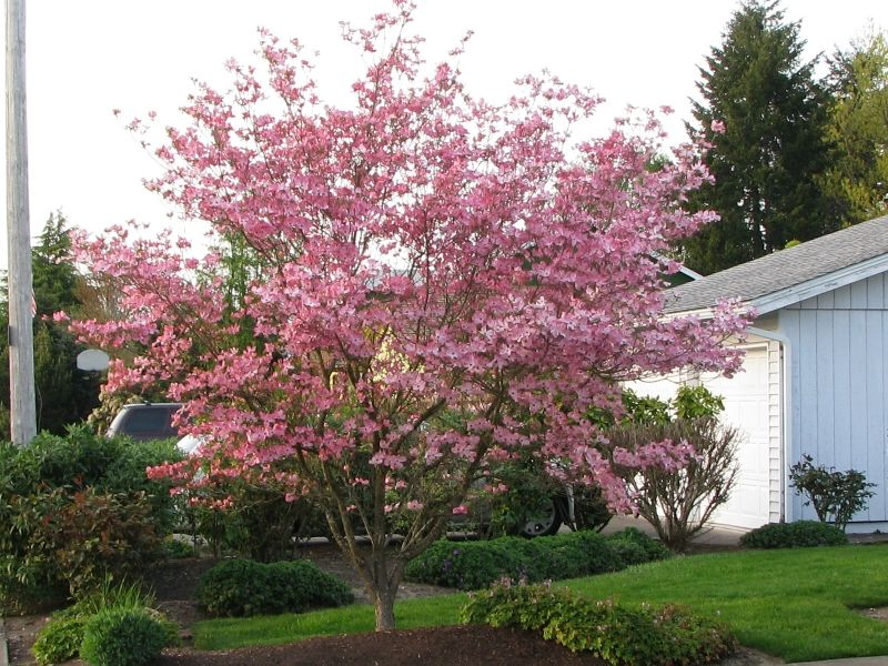 Stellar Pink Dogwood. Hybrids with Japanese dogwoods offer