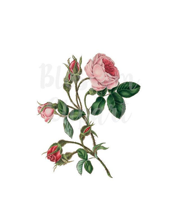 Wild Rose Clipart Vintage Flower Vintage Rose Png Clip Art Etsy Rose Clipart Clip Art Vintage Vintage Flowers