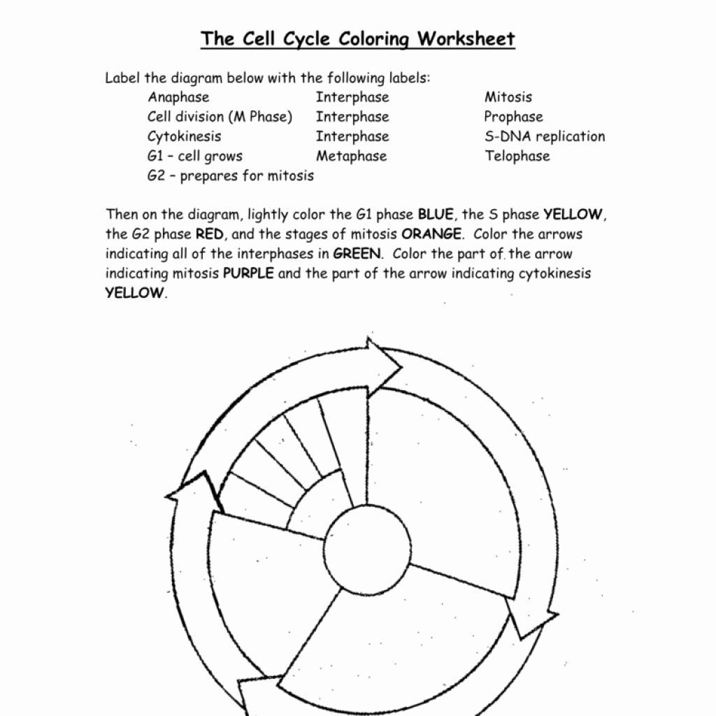 Coloring Photosynthesis Electron Transport Chain Beautiful Cell Cycle Drawing Worksheet At Getdrawings Cell Cycle Color Worksheets Cell Division