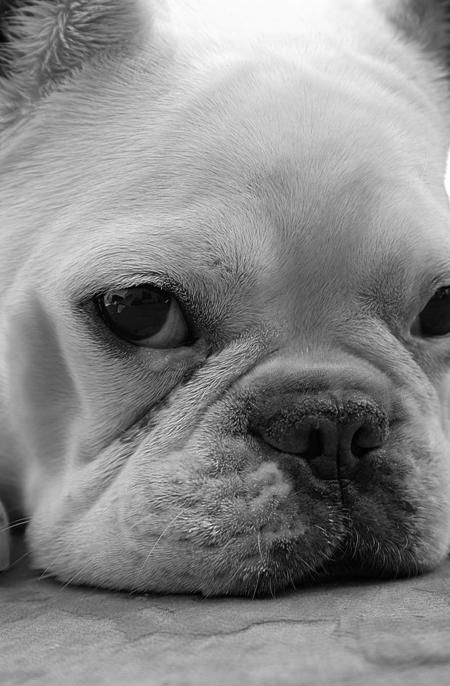 My Little French Bulldog Gien With The Big Ears Perros Bulldog