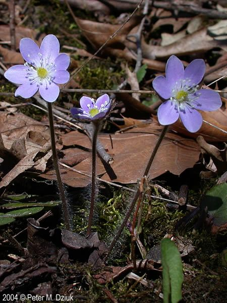 Anemone americana round lobed hepatica to 1 inch violet to anemone americana round lobed hepatica to violet to white flower with 6 petals and many white stamens around a green center mightylinksfo Gallery