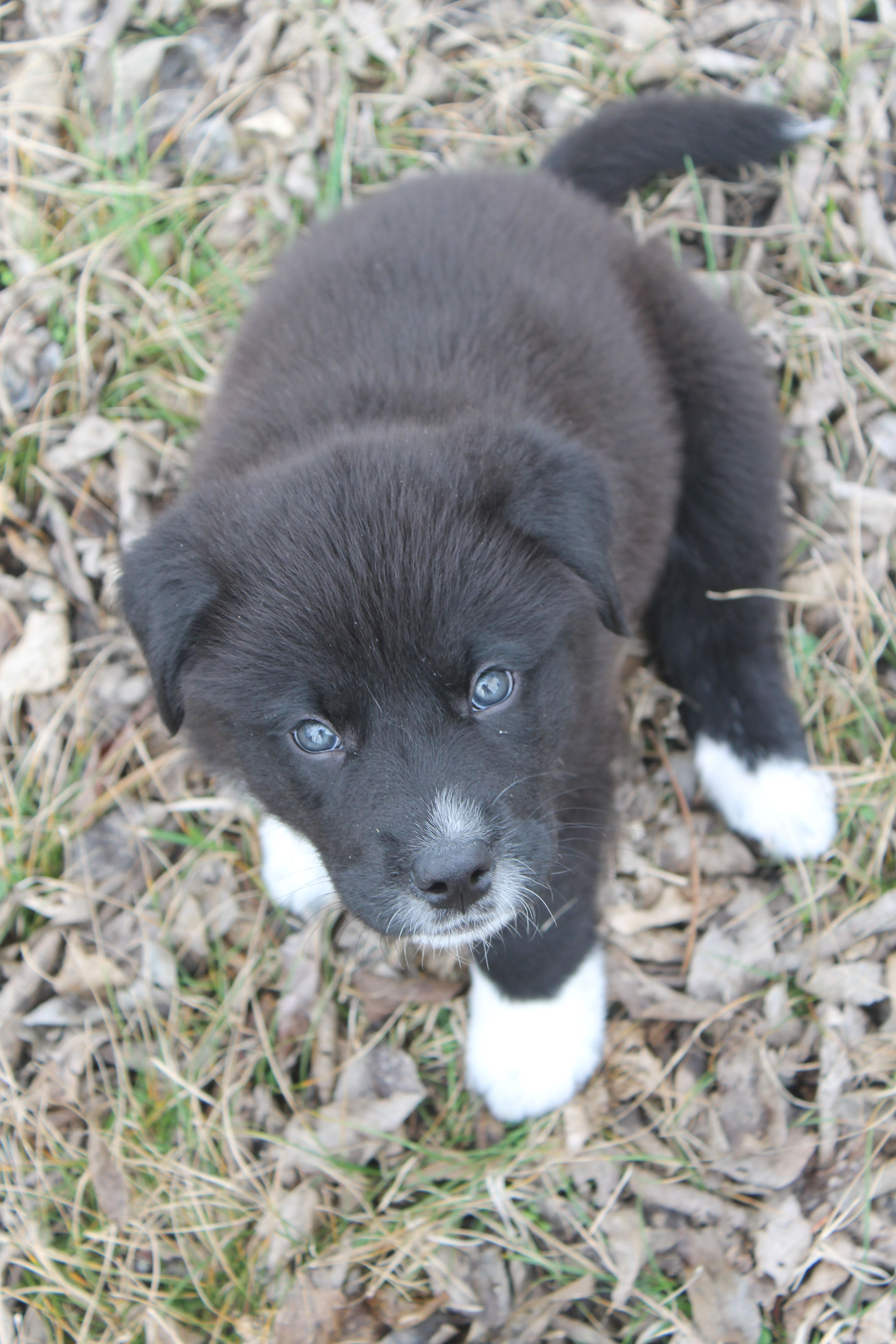 Great Pyrenees/Border Collie mix ️ Trooper puppy