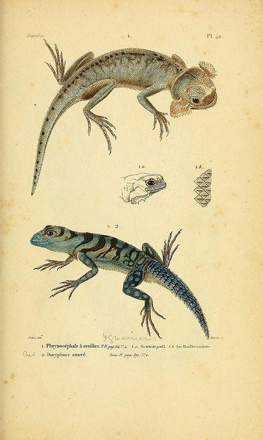 Chameleons, Histoire Naturelle Complète des Reptiles' by AMC Duméril & G Bibron, 1854