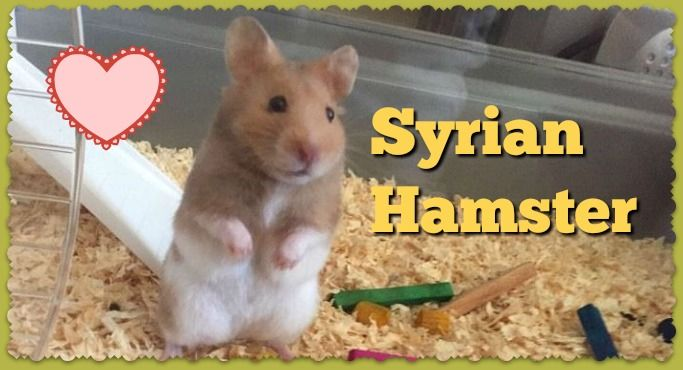 Syrian Hamster Care Facts Colors Life Span Shorthair Hamster Care Syrian Hamster Hamster