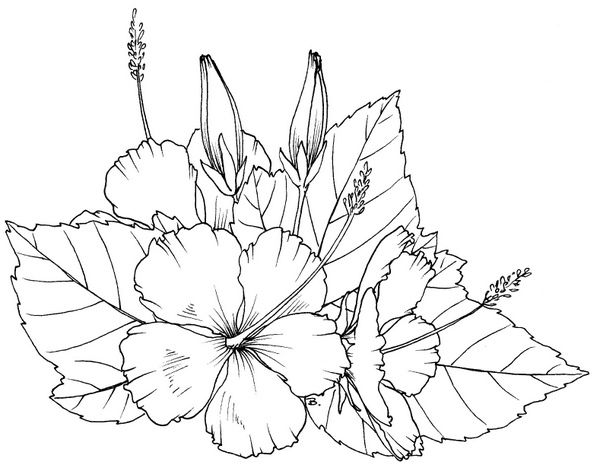 Hibiscus Coloring Pages Flower Drawing