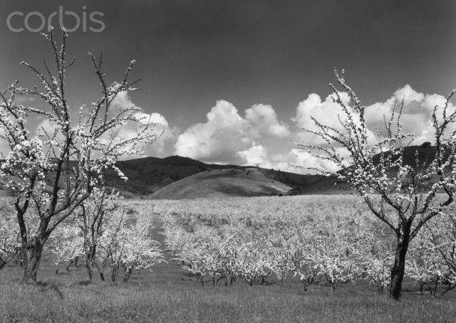 Orchard, Santa Clara, California, 1952 by Ansel Adams