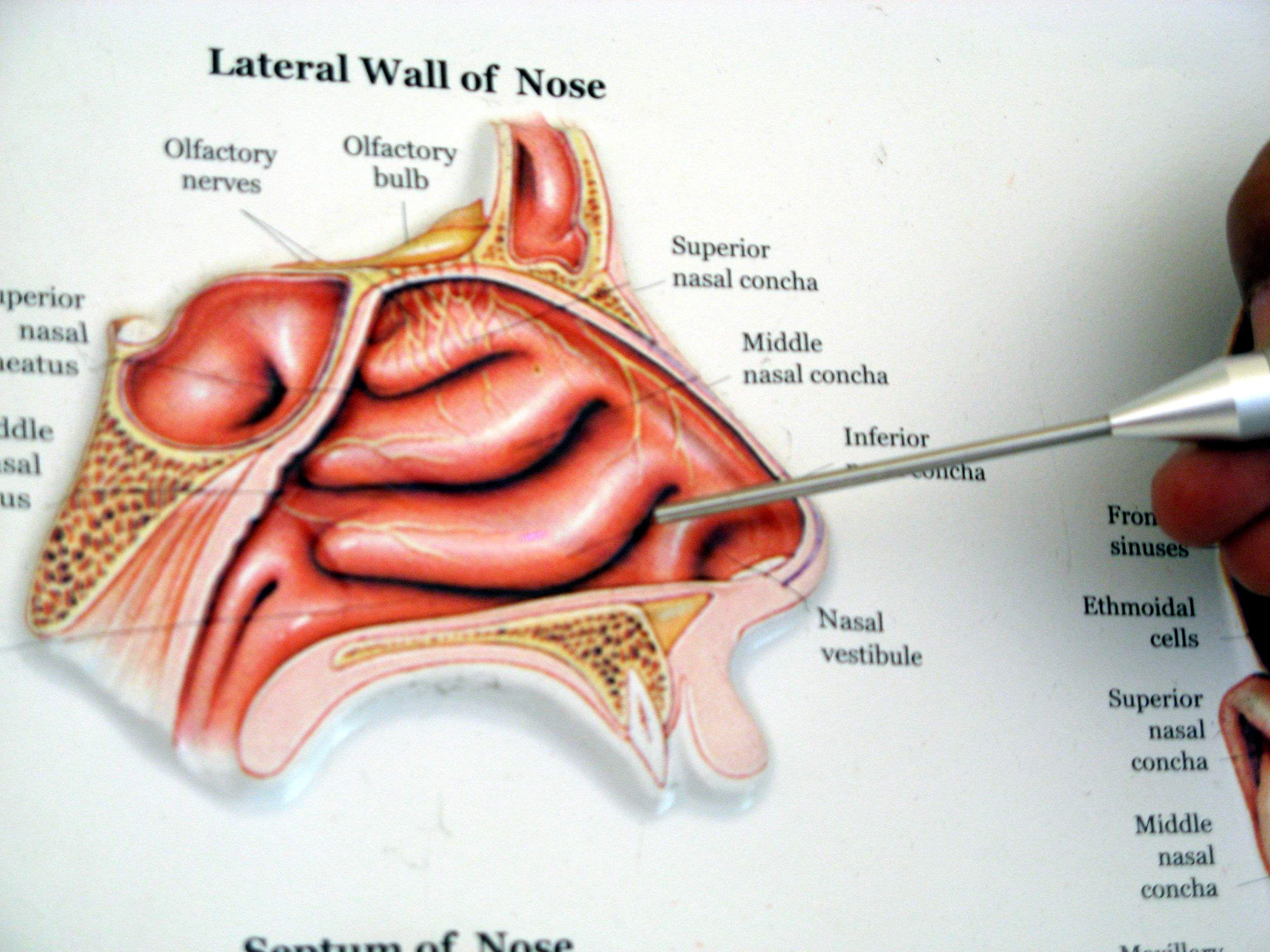 1-nasal turbinates   my like   Pinterest