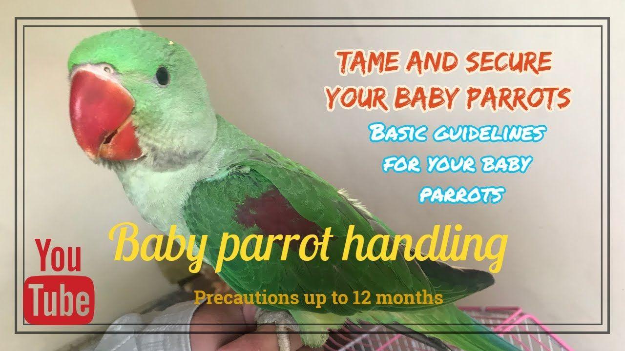 Baby parrot care tips handling alexandrineraw