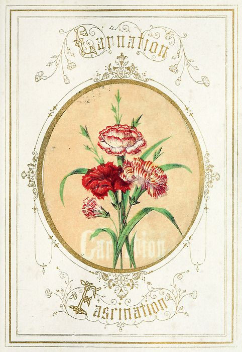 Carnation From The Language Of Flowers An Alphabet Of Floral