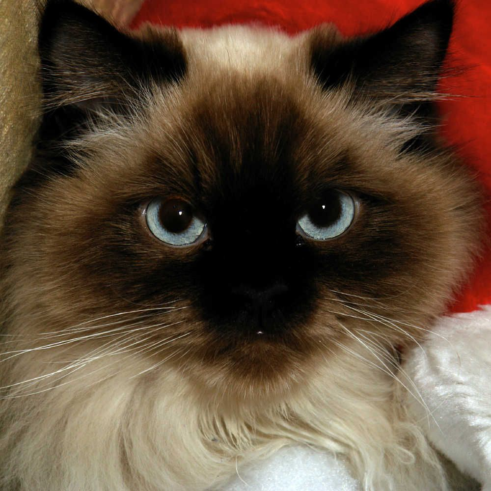 Himalayan Face Cats Pinterest