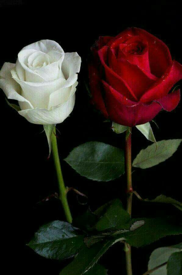 Dos Rosas Blanca Y Roja Hermosas Flores Beautiful Flowers