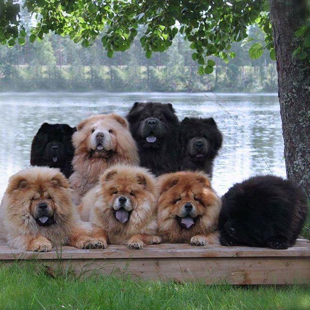 The gang of Komainu's #chowchow