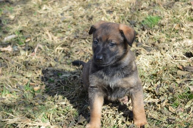 Camelot German Shepherds Beautiful Dogs And A Good Overview Of