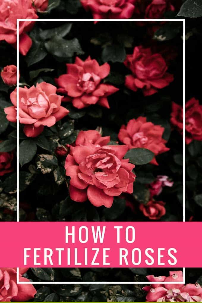 How to Fertilize Roses is part of Growing roses, Planting roses, Rose fertilizer, Rose care, Knockout roses, Climbing roses - How to Fertilize Roses  Which is the best fertilizer to use on roses, how often should you fertilize roses and other rose growing tips