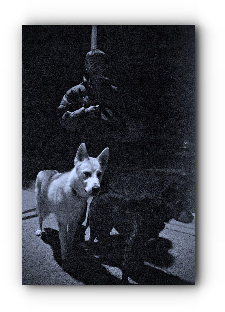 You Want A German Shepherd Adoption Near Me Ddr German Shepherd German Shepherd Adoption German Shepherd Dogs Shepherd Dog