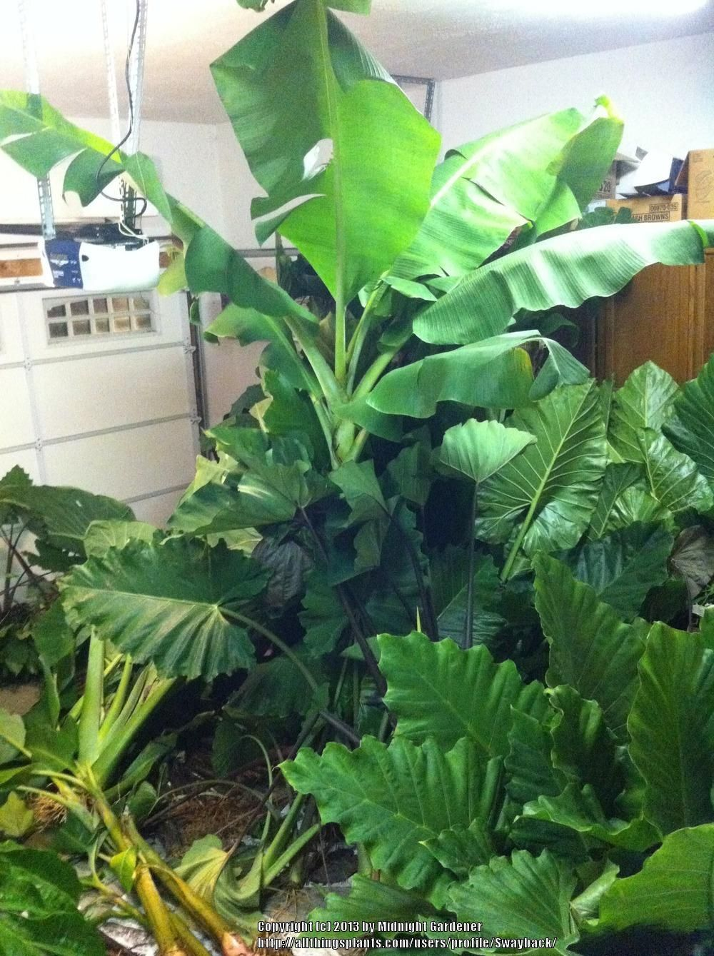 How To Store Elephant Ears and Other Tropical Bulbs #elephantearsandtropicals