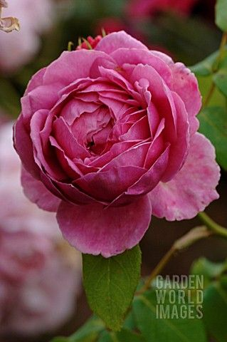 David Austin Rose Heather Austin David Austin Roses Beautiful Flowers Rose Varieties