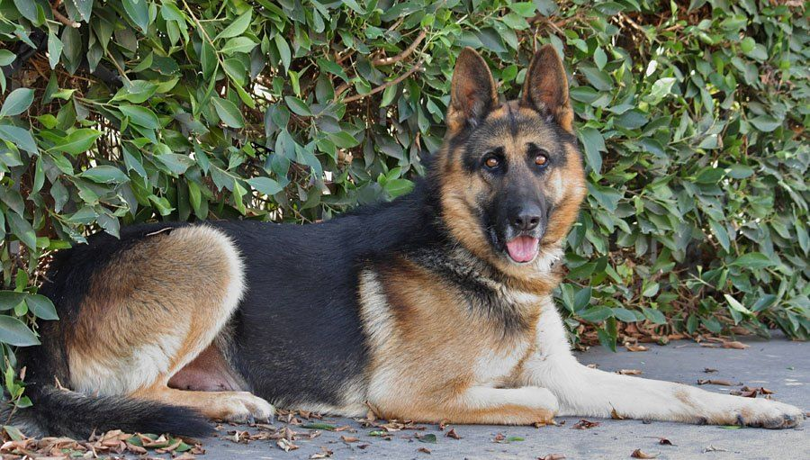 Spike Is Available At Westside German Shepherd Rescue In Southern California Http Www Sheprescue Org German Shepherd Rescue German Shepherd Dog Sounds