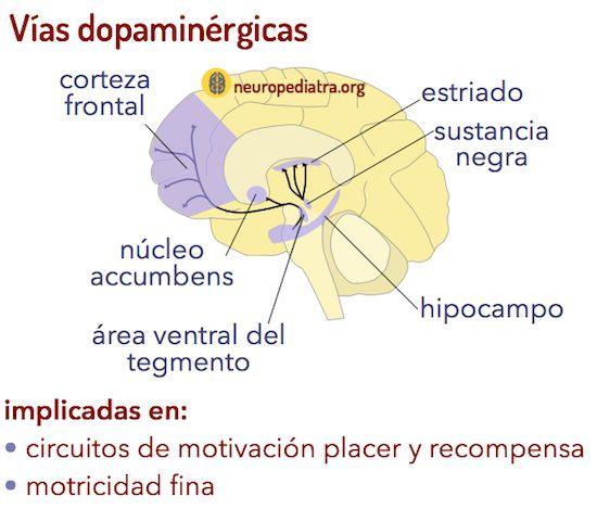vías dopamina   psico   Pinterest   Vías, Anatomía y 21 días